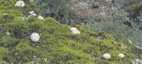 Ребуция мышиная в природе