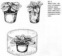Рис. 6.  Фиалка с оголившимся стеблем