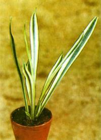 Сансевьера трехполосая отличается компактным ростом и яркими белыми полосами