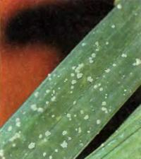 Щитовки на листе цимбидиума