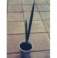 Сеянец финиковой пальмы в возрасте 1 года
