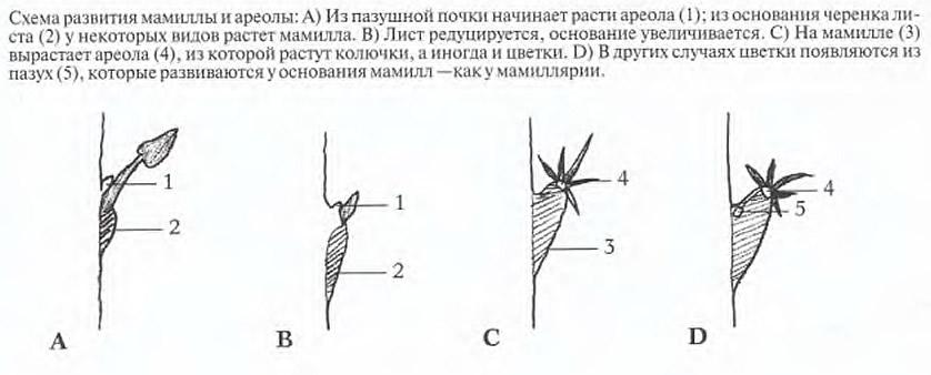 Схема развития мамиллы и ареолы