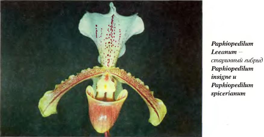 Старинный гибрид орхидея Paphiopedilum Leeanum