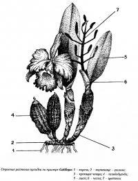 Строение растения орхидеи на примере Cattleya