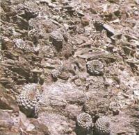 Стромбокактус дисковидный в природе