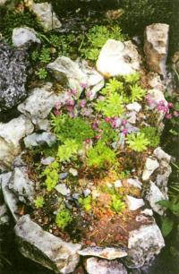 Суккуленты на альпийской горке