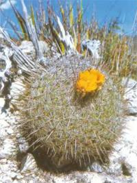 Телокактус конусососочковый разн. оранжевый