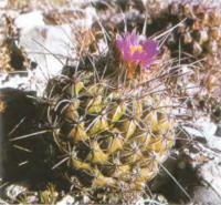 Телокактус конусососочковый