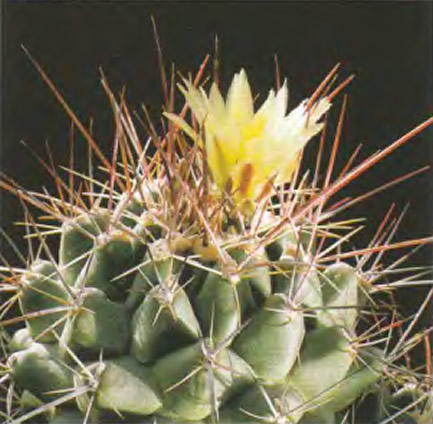 Телокактус желтый