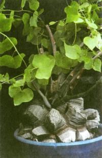 Тестудинария, или диоскорея носит название «Слоновая нога»