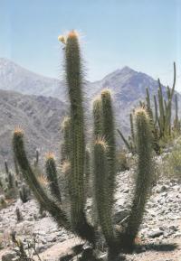 Трихоцереус чилийский