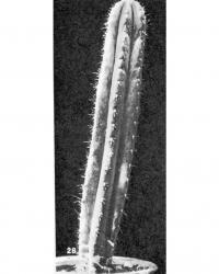 Трихоцереус крупноребристый