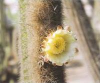 Триксантоцереус Блоссфельда, цветок