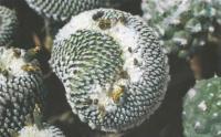 Турбиникарпус ложногребенчатый Cristata