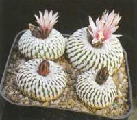 Турбиникарпус ложногребенчатый