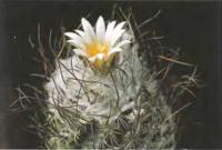 Турбиникарпус шмидикеанский разн. Дикинсон