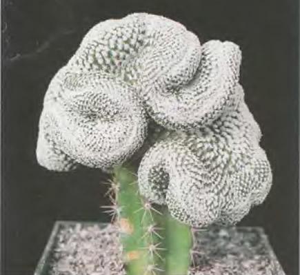 Турбиникарпус вальдесианский Cristata