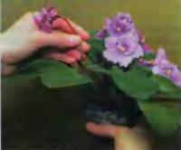 Удаление цветоносов с отцветшими цветкам