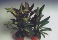 Узор листьев кордилины верхушечной