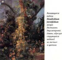 Ветвящиеся побеги Dendrobium teretifolium