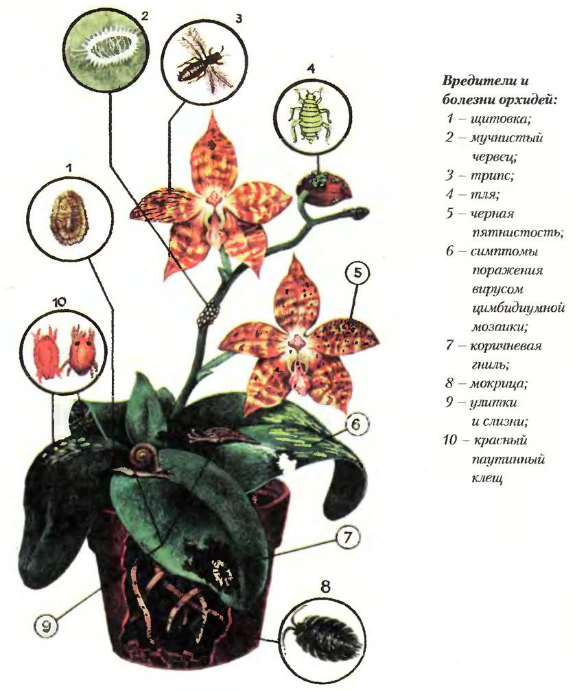 орхидей вредители фото