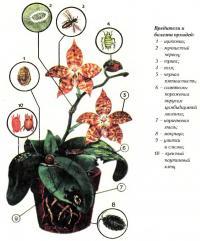 Вредители и болезни орхидей